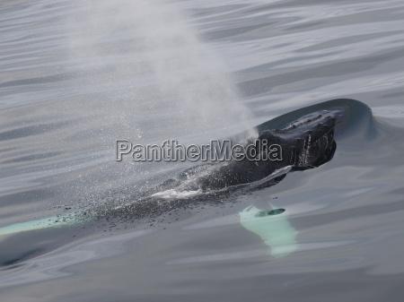 blasender buckelwal