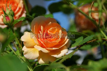 englische rose grace