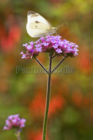 butterfly large white on verbena flowers
