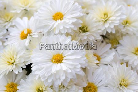 chrysanthemen chrysanthemum indicum