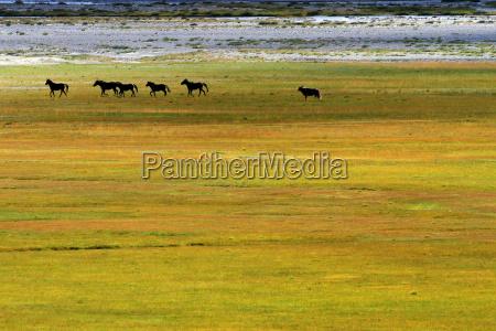 wild mustangs zanskar valley india