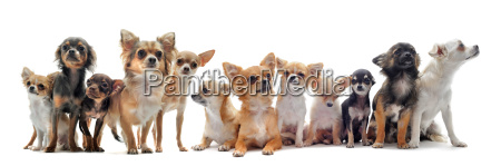 sieben chihuahuas