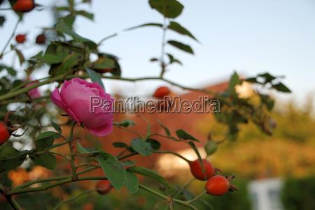 rosa historische rose mit hagebutten