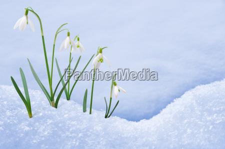 gruppe von schneegloeckchen blueten wachsen in