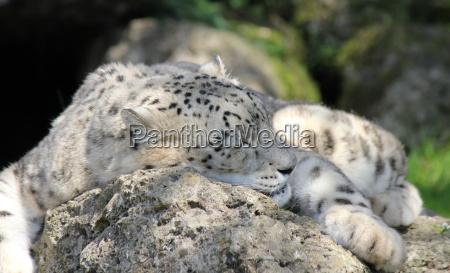 schnee leopard