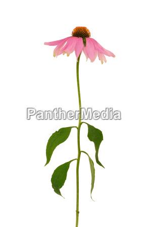 echinacea purpurea flower over white