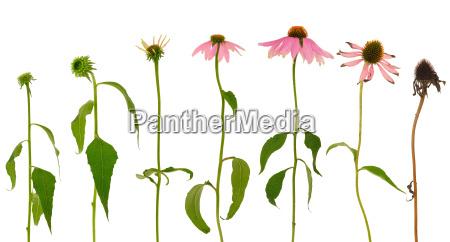 evolution of echinacea purpurea flower