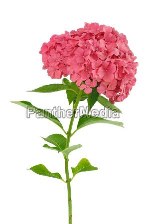 hydrangea macrophylla flower isolated