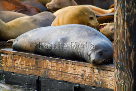 sea lions at pier 39 in