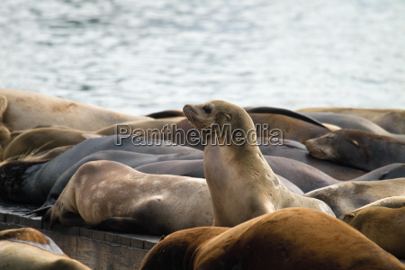 sea lions sunning on barge at
