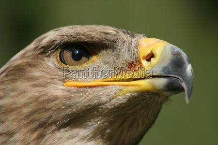 portrait steinadler