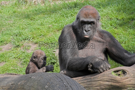 gorillaweibchen mit nachwuchs
