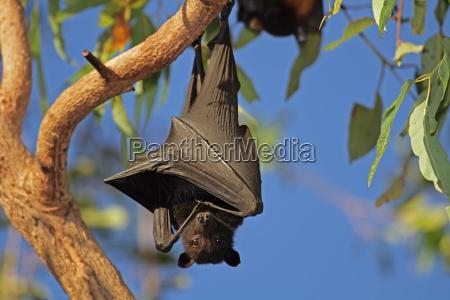 schwarz fliegen fuchs