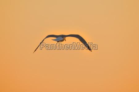 moevenflug at sunrise
