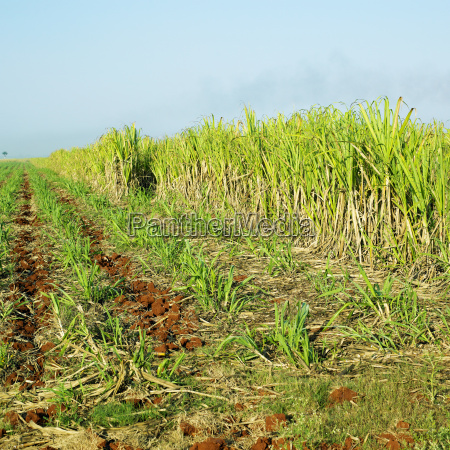 zuckerrohrfeld rene fraga kuba