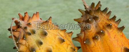 kiwano cucumis metuliferus horngurke