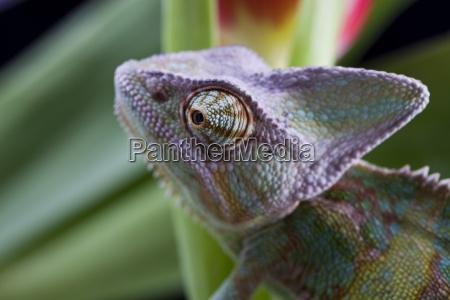 tier reptil eidechse tiere drache chamaeleon