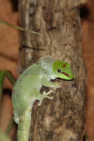 haeutung bei gecko