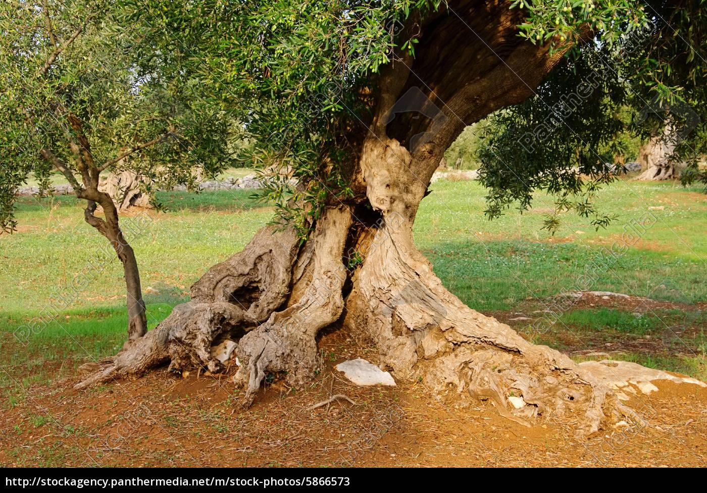 Lizenzfreies Bild 5866573 - Olivenbaum Stamm olive tree trunk 17