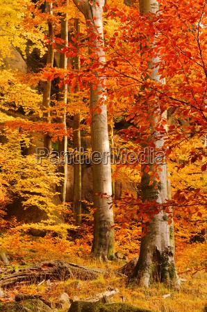 buchenwald im herbst beech forest
