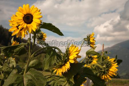 sonnenblumen am brenner