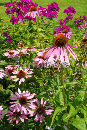 sonnenhut purpur purple coneflower 33