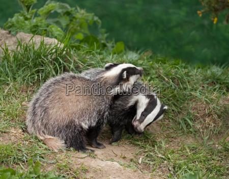 badger cubs spielen