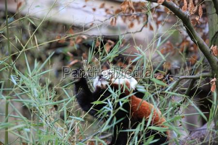 kleiner pandabaer in nahaufnahme