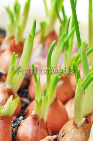 onions with chives