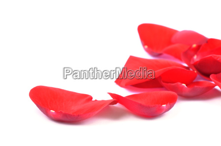 petals of a red rose isolated