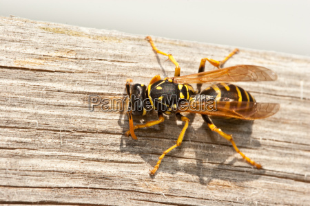 yellow jacket wasp kaut holz in