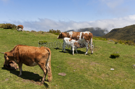 herd of cows in a mountain