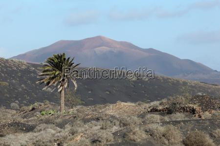 typical lanzarote landscape lava palm tree