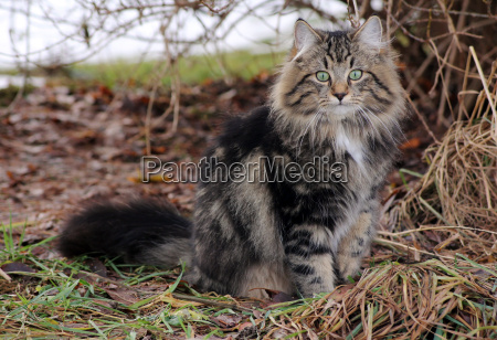 pretty long haired cat with curious