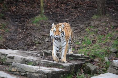 sibirischer tiger in nahaufnahme