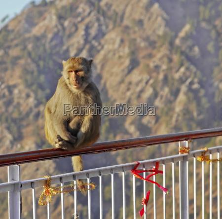 indian himalayas monkey sat on handrail