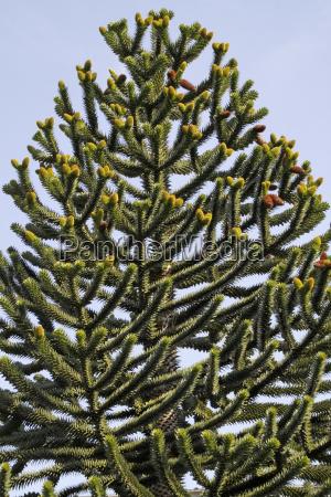 chilenische araukarie andentanne