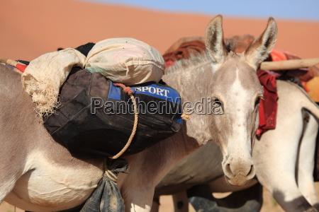 packesel in der sahara