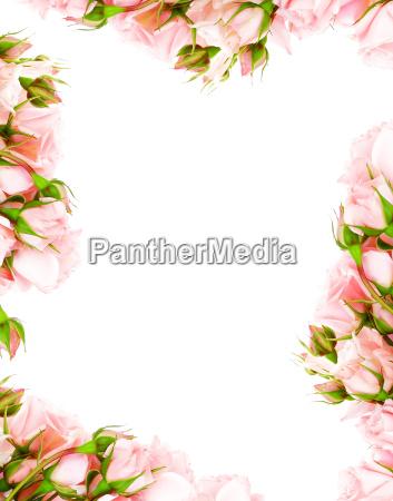 frische rosen rahmen