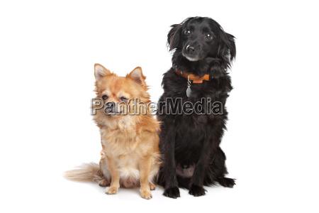 chihuahua und eine schwarze mischlingshuendin