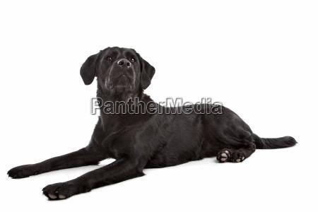 kreuz rasse hund von labrador und