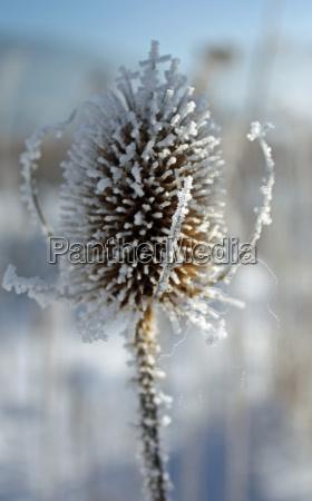 winter ice frozen reed snow meadow