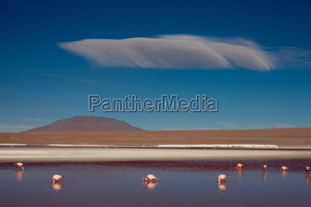 flamingos in andean panorama