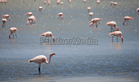 flamingos in the lagoon bolivia