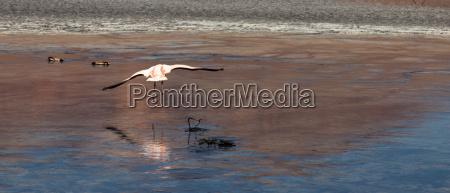 flamingos in lagoon bolivia