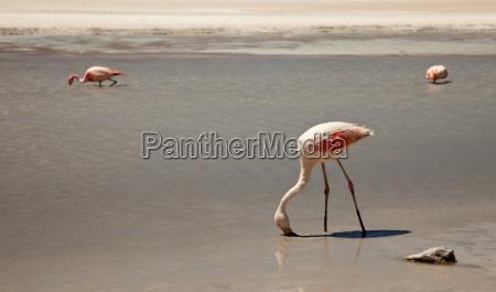 flamingos in lagune bolivien