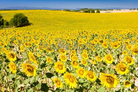 sonnenblumenfeld provence frankreich