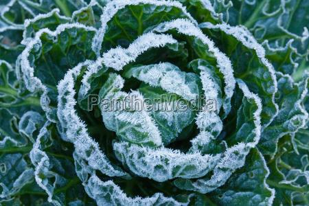 frost auf rosenkohl