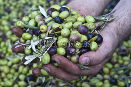 oliven in den haenden