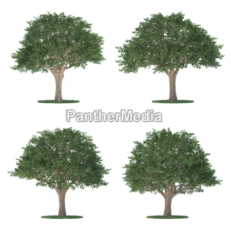 schinus trees collection isolated on white